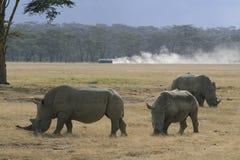 Trzy Afryka?ska Bia?a nosoro?ec, lipped nosoro?ec, Jeziorny Nakuru, Kenja zdjęcie stock