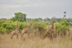 Trzy afrykanina żyrafa na środku roślinność Zdjęcie Royalty Free