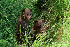 Trzy Alaskiego brown niedźwiadkowego lisiątka Fotografia Royalty Free