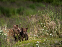 Trzy Alaskiego brown niedźwiadkowego lisiątka Zdjęcie Royalty Free