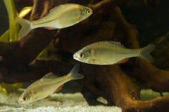 Trzy Amur Bitterling, Rhodeus sericeus, świeżej wody ryba Obrazy Stock