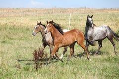 Trzy appaloosa koni biegać Fotografia Stock