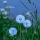 Trzy błękitnego dandelions w zielonej trawie obrazy stock