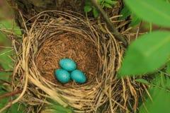Trzy błękitnego jajka drozd w słomie gniazdują na drzewie w lesie Fotografia Stock