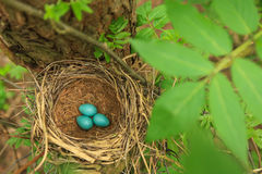 Trzy błękitnego jajka drozd w słomie gniazdują na drzewie w lesie Fotografia Royalty Free