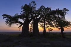 Trzy baobabów drzewo Obraz Royalty Free