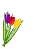 Trzy barwiony tulipan Zdjęcia Royalty Free