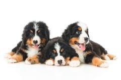 Trzy Bernese góry psa szczeniak Obrazy Stock