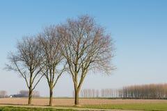 Trzy bezlistnego drzewa w rzędzie Obrazy Royalty Free