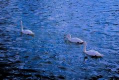 Trzy białego łabędź Obrazy Stock