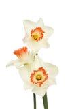 Trzy białego daffodils Zdjęcie Royalty Free