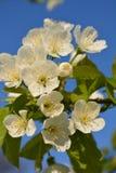 Trzy białego kwiatu na gałąź owocowy drzewo Zdjęcia Stock
