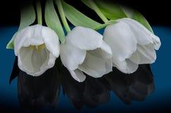 Trzy białego tulipanu - kłaść Obrazy Stock