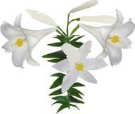 Trzy białej lelui kwiatu i pączek na trzonie obraz stock