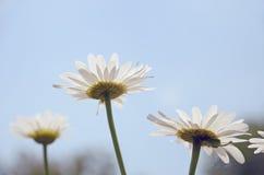 Trzy białych kwiatów stokrotka widok przeciw niebieskiego nieba zbliżeniu Zdjęcia Royalty Free