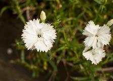 Trzy białego kwiatu Obrazy Royalty Free