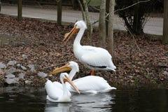 Trzy białego pelikana w wodzie obraz stock