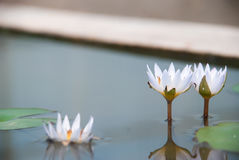 Trzy biały lotosowy kwiat w stawie Obrazy Stock