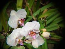 Trzy biel orchidei kwiatu Fotografia Stock