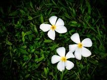 Trzy bielu plumeria kwiatu opuszczają na gazonie, zielonej trawy tło Fotografia Stock