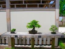 Trzy Bonsai drzewa Zdjęcie Stock