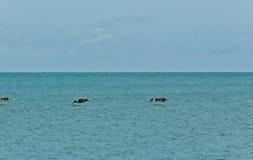 Trzy brązów pelikanów depresja nad tropikalną wodą, zdjęcie stock