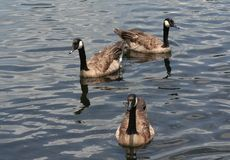 Trzy brown gąski w jeziorze Zdjęcie Stock