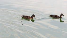 Trzy brown kaczki pływają w lasowym jeziorze w lecie zbiory