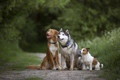 Trzy brudnego psa: Nowa Scotia kaczki tolling aporter, Syberyjski H obrazy stock