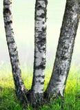 Trzy brzozy drzewa Obraz Stock