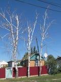 Trzy brzozy drzewa blisko domu Zdjęcie Royalty Free