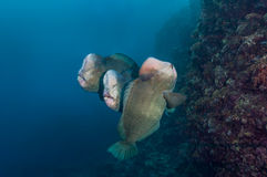 Trzy bumphead parrotfish Zdjęcia Stock