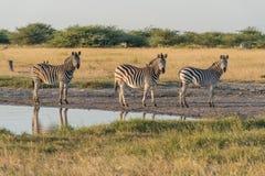 Trzy Burchell zebra w linii obok wody Obraz Stock