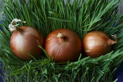 trzy cebul kłamstwo na zielonej trawie zdjęcia stock