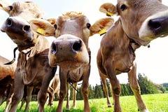 Trzy ciekawej młodej nabiał krowy Obrazy Royalty Free
