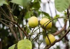 Trzy cytryny dojrzała owoc na gałąź Fotografia Stock