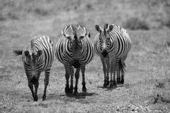 Trzy czarno biały zebra ciężarna Zdjęcia Royalty Free