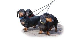 Trzy czarny i czarny pies Fotografia Stock