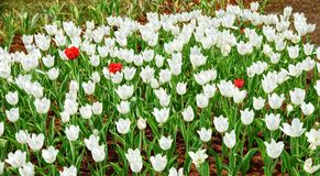 Trzy czerwieni tulipan w morzu biali tulipany Fotografia Stock