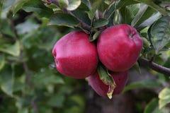 trzy czerwone jabłko Obraz Royalty Free