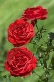 trzy czerwone róże obraz royalty free