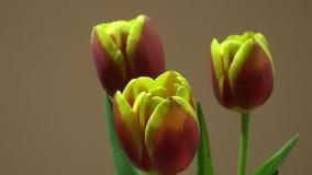 trzy czerwone tulipany żółte zdjęcie wideo