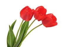 trzy czerwone tulipany Zdjęcie Stock
