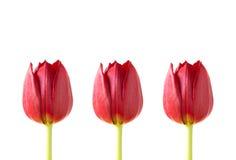 trzy czerwone tulipany Zdjęcie Royalty Free