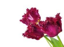 trzy czerwone tulipany Obrazy Stock