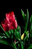 trzy czerwone tulipany Obraz Royalty Free