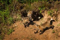 Trzy Czerwonego Fox zestawów Vulpes vulpes gromadzenie się przy meliną Obrazy Royalty Free