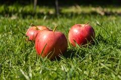 Trzy czerwonego jabłka w łące Zdjęcia Royalty Free