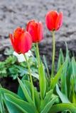 Trzy czerwonego tulipanu Zdjęcie Stock
