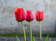 Trzy czerwonego tulipanu Zdjęcia Royalty Free